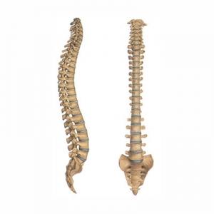 pravilna oblika hrbtenice